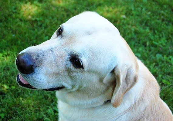 Tucker the yellow Labrador Retriever, our fifth slow-feed dog bowl tester