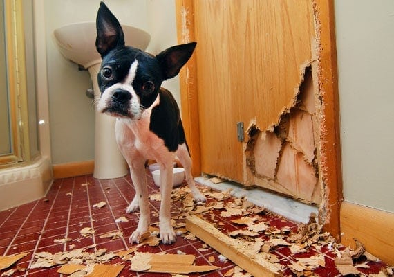 Boston Terrier chewing bathroom door to pieces