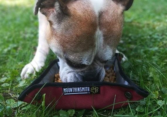 Flat Faced Bulldog eating from Mountainsmith Collapsible K-9 Backbowl