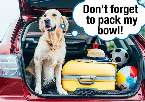 Golden Retriever sitting in trunk of car with luggage packed for summer vacation reminding family to pack his dog bowl