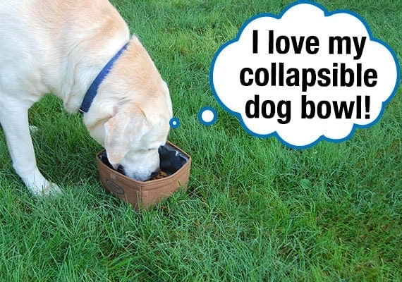 Yellow Labrador Retriever eating kibble from collapsible dog bowl on grass in park