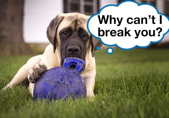 A female mastiff trying to destroy her indestructible dog ball