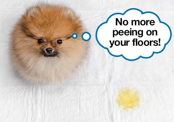 A house broken pomeranian puppy who has been trained to go potty on a pee pad