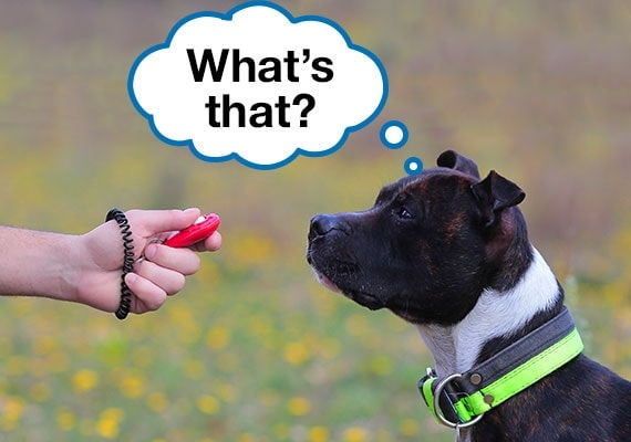 A Staffordshire Bull Terrier staring at owner confused by the clicker being held in hand during training