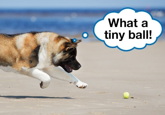 Akita dog chasing tennis ball on sandy beach