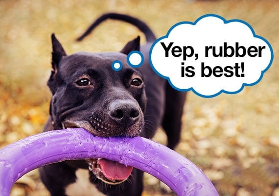 American Pit Bull Terrier Chewing On Purple Rubber Ring Toy