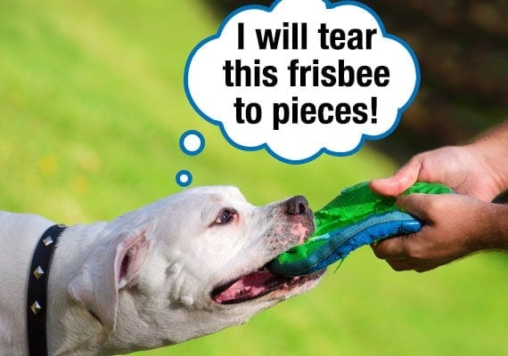 American Bulldog tugging at Frisbee with owner causing it to rip