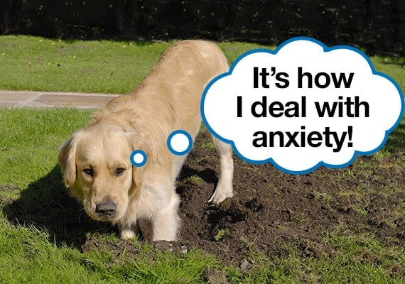 Anxious Golden Retriever digging a hole in the lawn