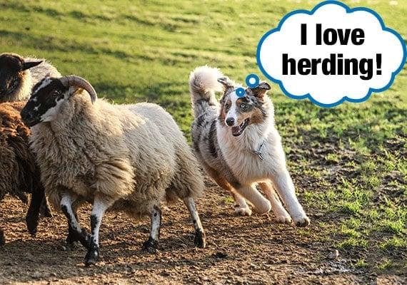 Australian Cattle Dog herding sheep on a farm