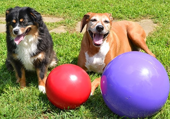 Australian Shepherd and Boxer Foxhound sitting next to two different sized Jolly Pets Push n Play herding balls