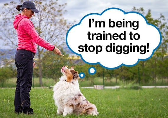 Australian Shepherd being trained to stop digging in yard