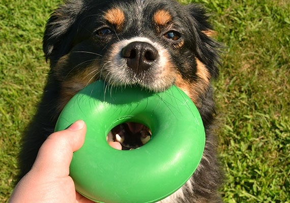 Australian Shepherd chewing on Goughnuts Original green colored chew toy - the best chew toy for medium sized dogs