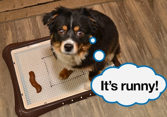 Australian Shepherd sitting on pee pad holder with grate next to dog poop