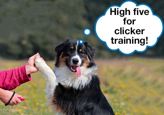 Australian Shepherd high fiving trainer hand while being clicker trained