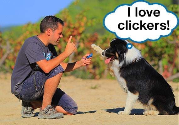 Australian Shepherd raising paw as owner presses clicker during training
