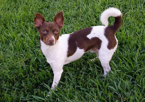 Banjo, Amanda's Jack Russel Terrier