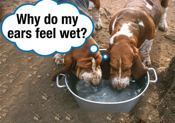 Basset Hounds drinking water from bowl while ears are hanging in the water getting wet