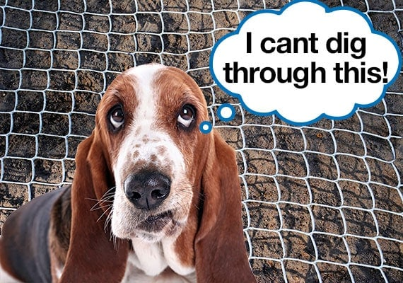 Basset hound unable to dig hole in soil due to chicken wire blocking him