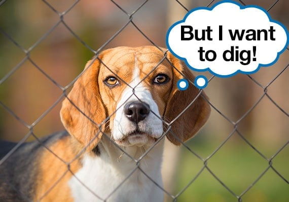 Beagle being prevented from digging in garden by fence