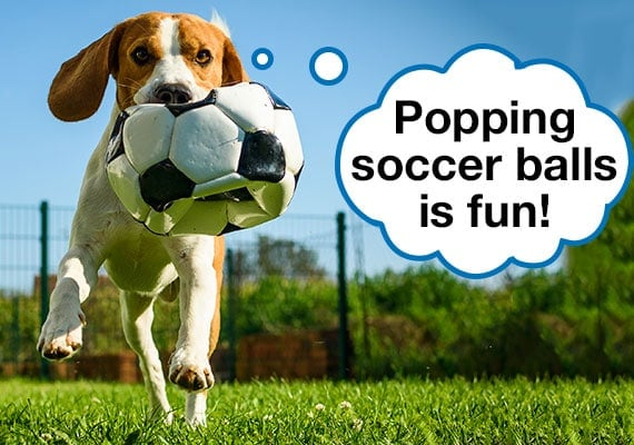 Beagle dog carrying soccer ball in mouth that has popped and deflated because of bite