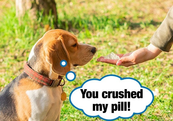 Beagle looking at medicine pill that has been crushed into a fine powder
