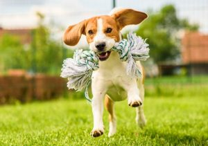 Beagle puppy running around yard with rope toy in mouth