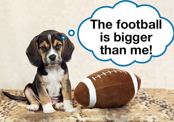 Beagle puppy sitting next to plush football that is bigger than him