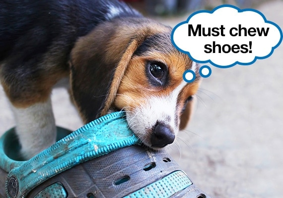 Beagle puppy sneakily chewing on owners shoes