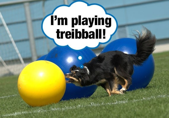 Belgian Shepherd cross border collie playing treibball with herding balls