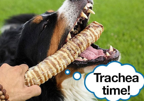 Bernese Mountain Dog Taking Beef Trachea Chew out of owners handsjpg