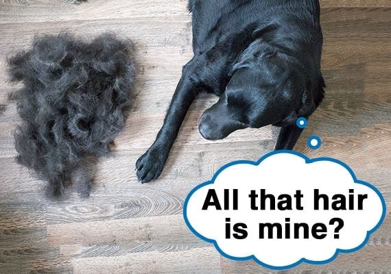 Black labrador looking at all the hair he shed piled on wooden floor