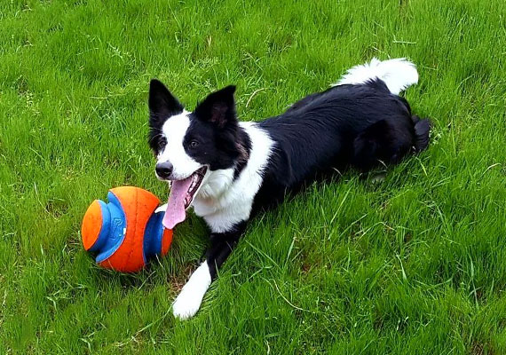 Border Collie lying in grass playing with Kick Fetch soccer ball toy
