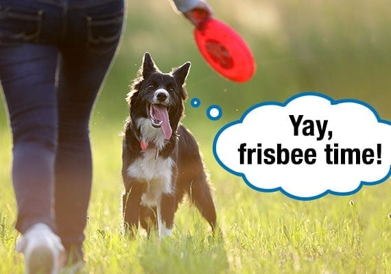 Border Collie excitedly waiting for his owner to throw the Frisbee disc