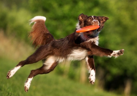 Border Collie leaping and catching orange Frisbee disc mid-air