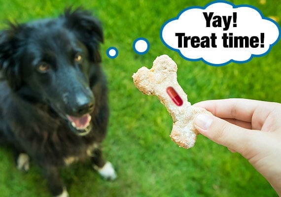 Border Collie waiting for dog treat which has medicine hidden inside it