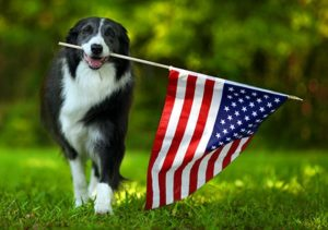 Border Collie carrying United States of America flag in mouth in dog park