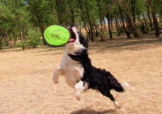Border Collie leaping after Hyper Pet Flippy Flopper best soft nylon Frisbee for dogs