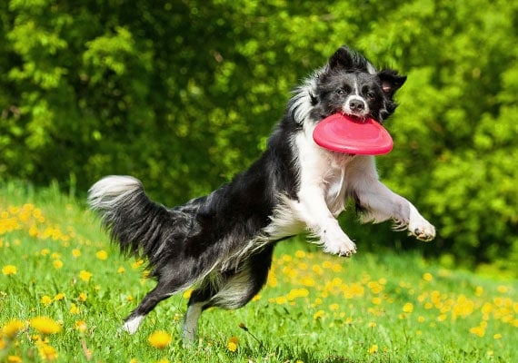 Border Collie leaping and catching red plastic frisbee in mouth
