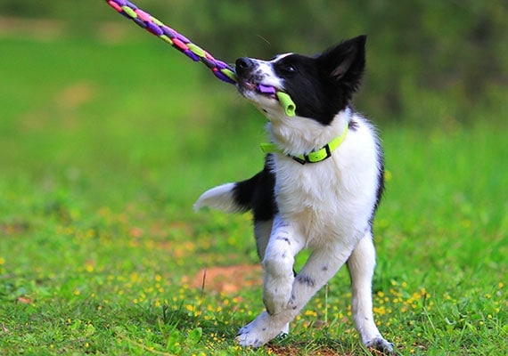 Border Collie puppy playing tug-of-war in park