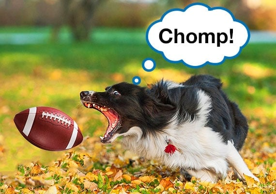 Border Collie trying to catch thrown football in mouth