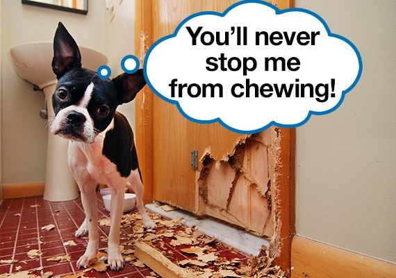 Boston Terrier who has chewed his way through a wooden bathroom door leaving wood splinters and mess behind