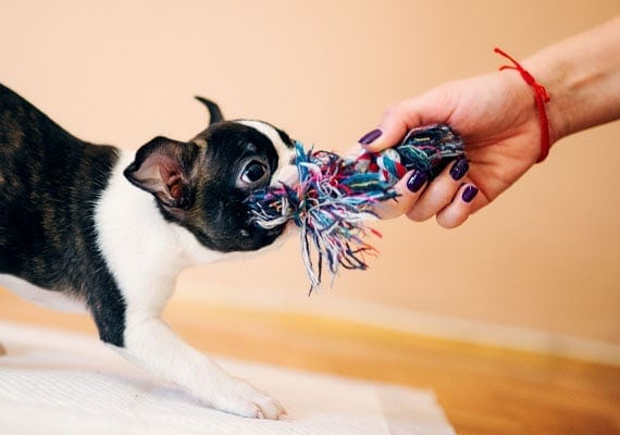 Boston Terrier puppy playing tug-of-war with short rope tug toy