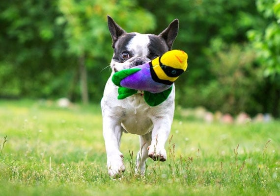 Boston Terrier running in park with fish plush dog toy in mouth