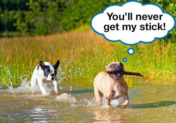 Boston Terrier with stick in mouth being chased by another dog through water puddle