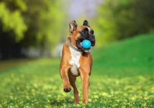 Boxer playing with indestructible dog toy in park
