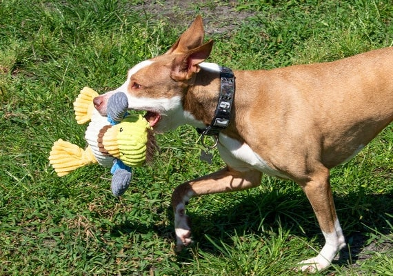 Brown dog playign with Huggle Hound knotties duck in park
