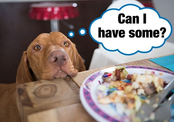 Brown Weimaraner begging at table for food that has medication pill hidden inside