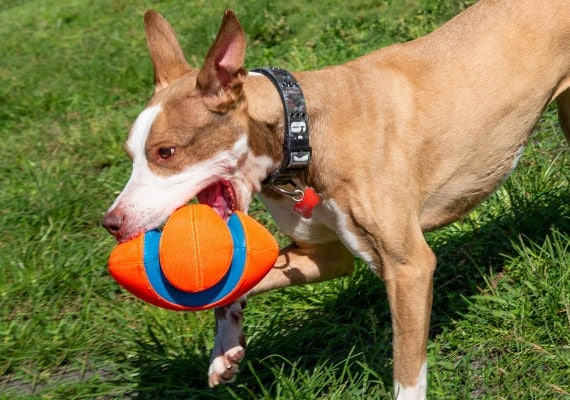 Brown dog carrying Chuckit! Fumble Fetch football toy