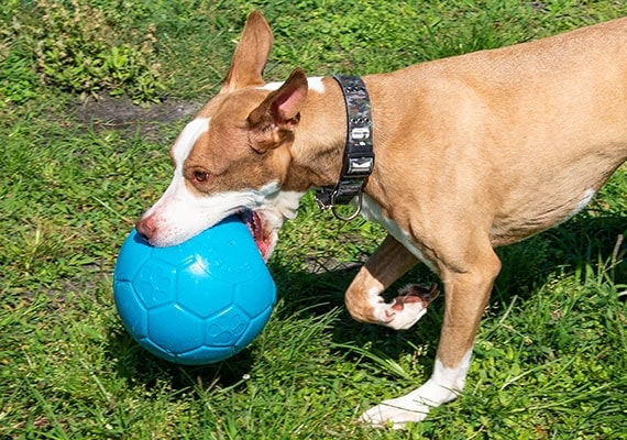 Brown dog carrying around jolly soccer ball in mouth