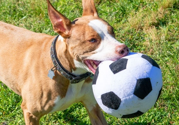 Brown dog carrying around plush soccer ball in mouth